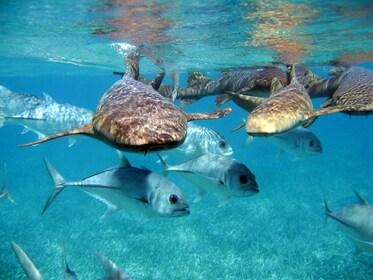 Pirates of the Caribbean Cruise- Snorkel, Sharks & Stingrays