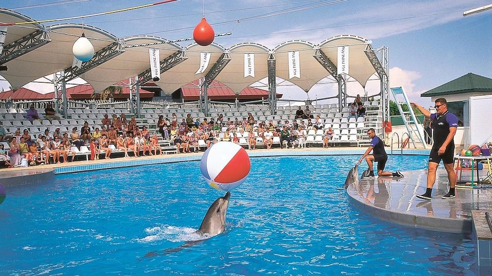Ver elemento 1 de 5. dolphin with ball in show at marmaris