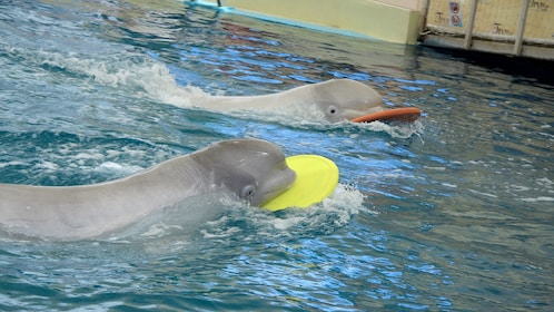 porpoise with frisbees swimming