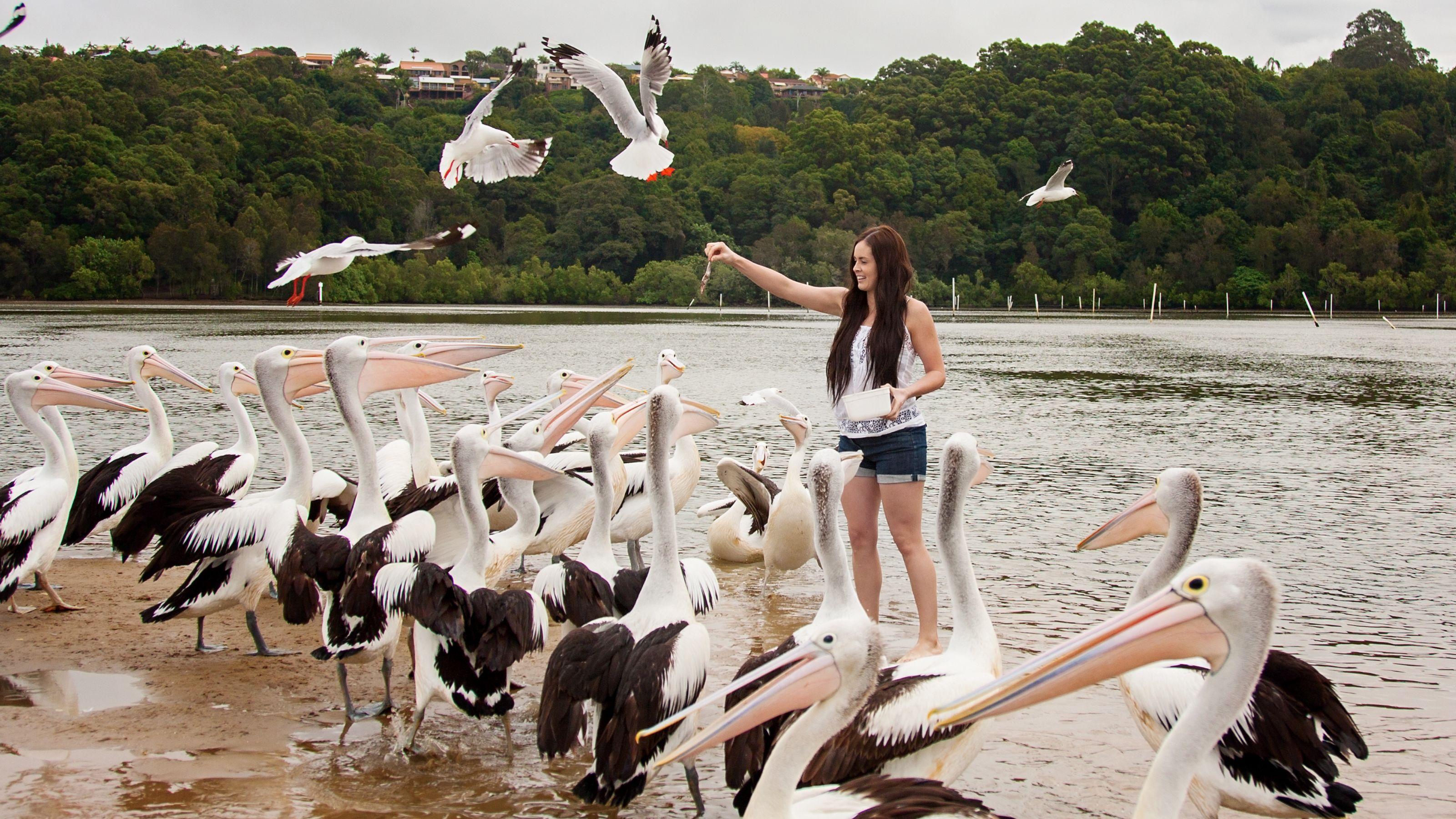 girl feeding pelicans shrimps at the beach in Australia