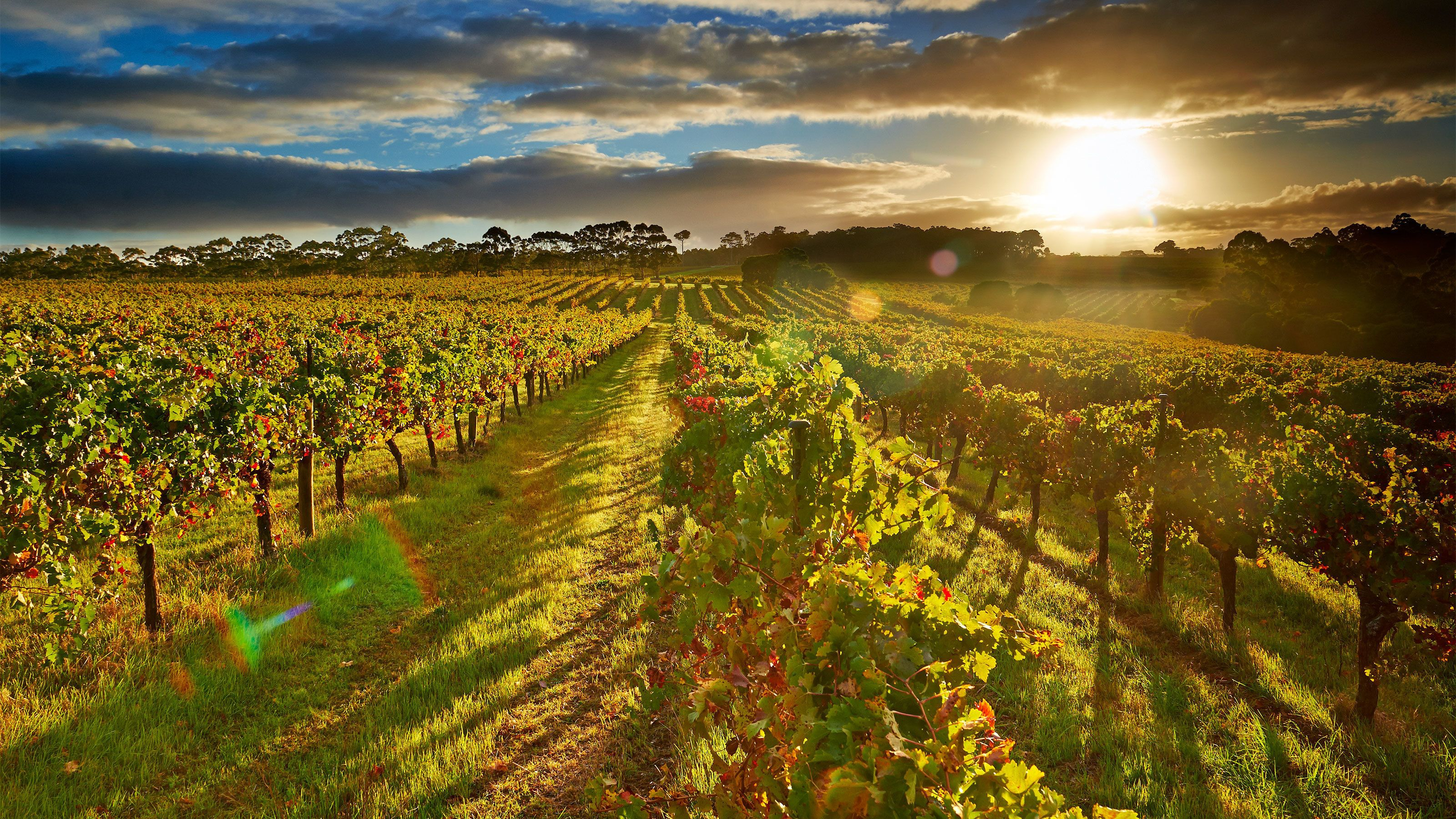 Landscape view of wine vineyard at sunset.