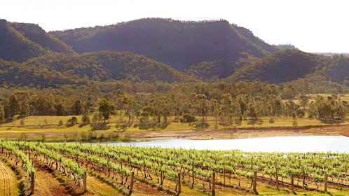 Landscape view of manicured wine vineyard with grassy hills, during the day.