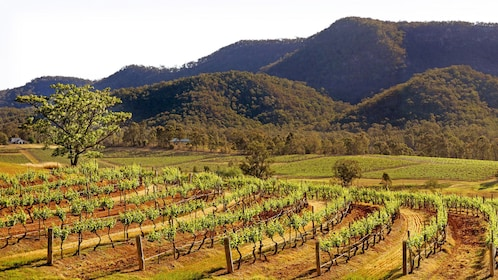 Landscape view of wine vineyard with grassy hills, during the day.