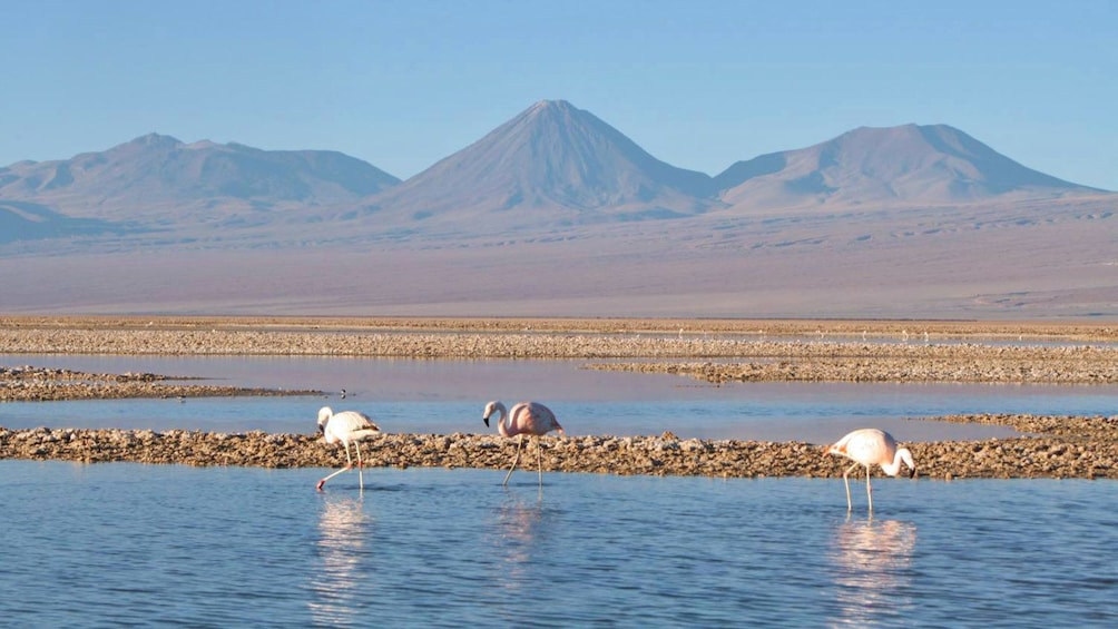 Show item 6 of 6. Flamingos in the water in Chile