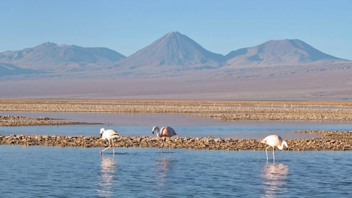 Flamingos in the water in Chile
