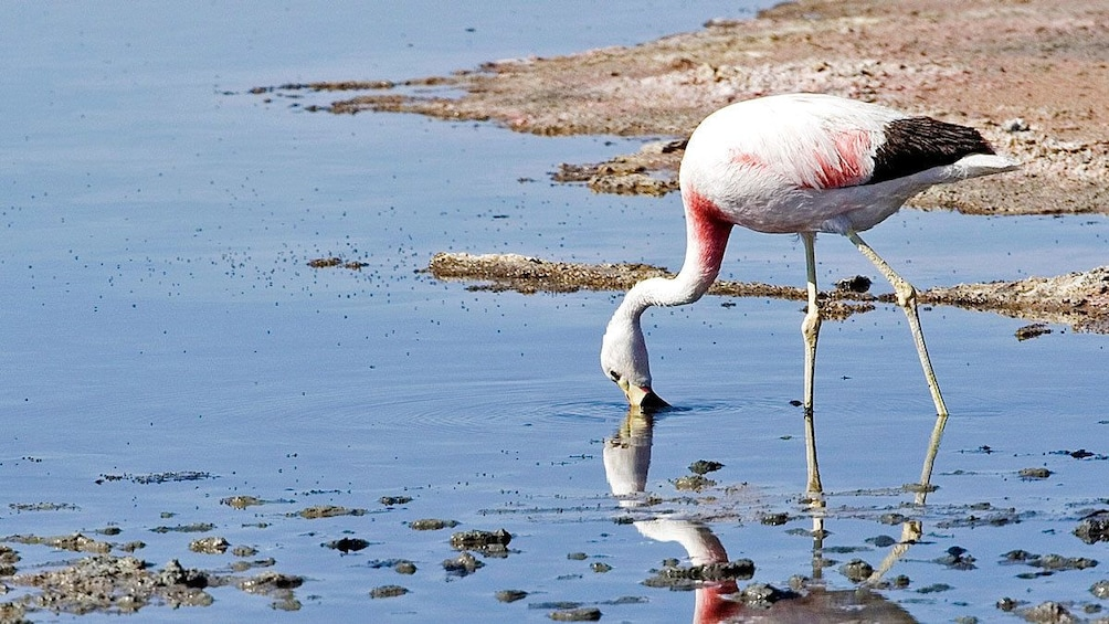 Show item 7 of 7. Flamingo in the water in Chile