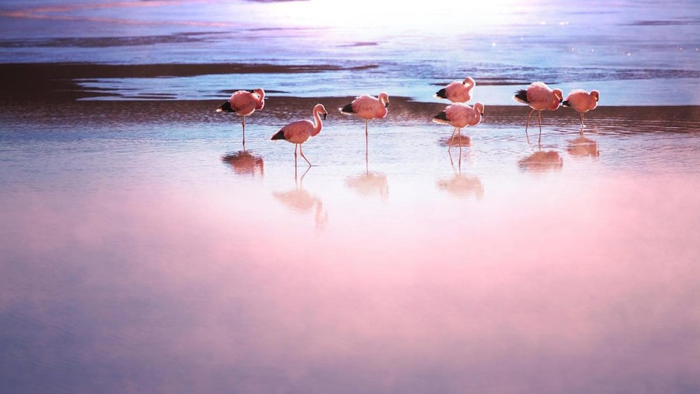 Show item 1 of 7. Flamingos in the foggy morning water in Chile