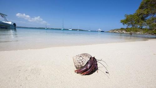 A hermit crab on a beach in Antigua