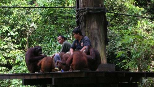 park employees feeding and socializing with orangutans at Kota Kinabalu