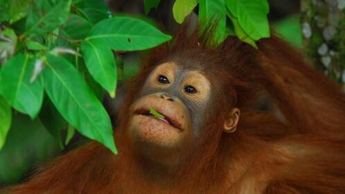 an orangutan grazing on tree leaves in Kota Kinabalu