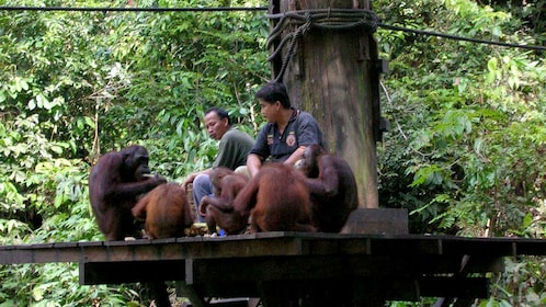 park employees feeding and socializing with a group of orangutans in Kota Kinabalu