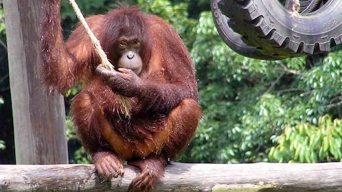 an orangutan holding onto an end of a rope in Kota Kinabalu
