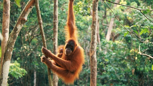 orangutan carrying its offspring from tree to tree in Singapore
