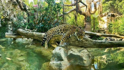Jaguar lounging in a tree at Loro Parque
