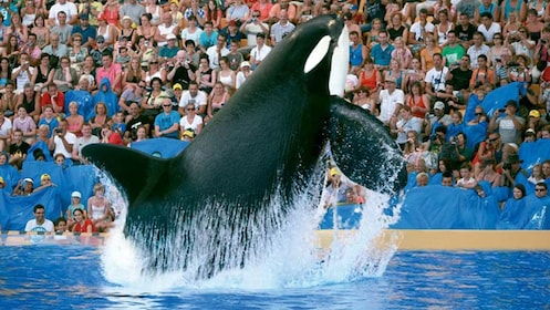 Orca whale leaping out of the water at Loro Parque in Tenerife