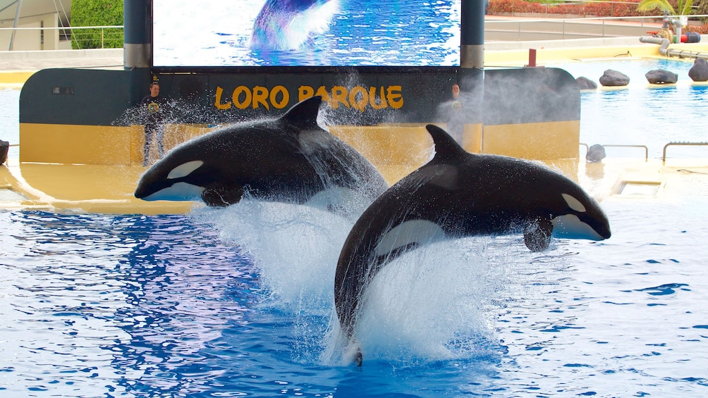 Indlæs billede 5 af 5. Pair of orca whales jumping out of the water at Loro Parque