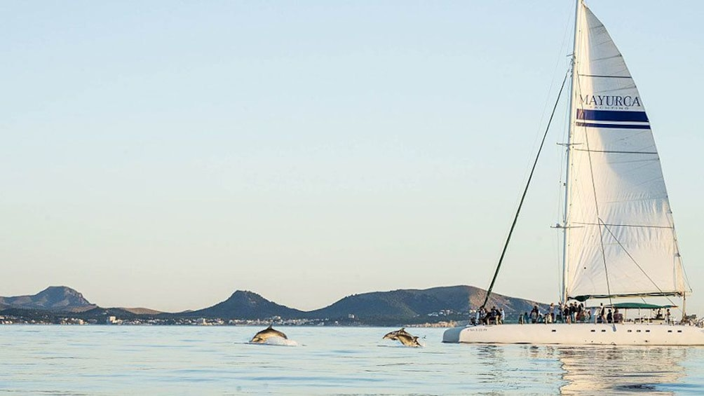 Foto 5 von 6 laden Dolphins jumping in front of catamaran in Mallorca Island