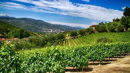 Rows of plants in Douro Valley