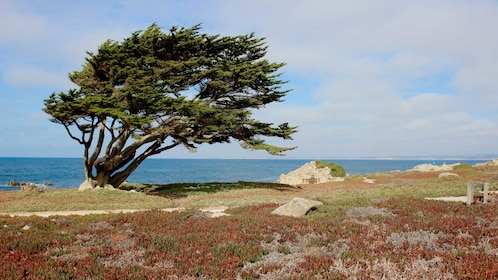 Windblown tree on coastline