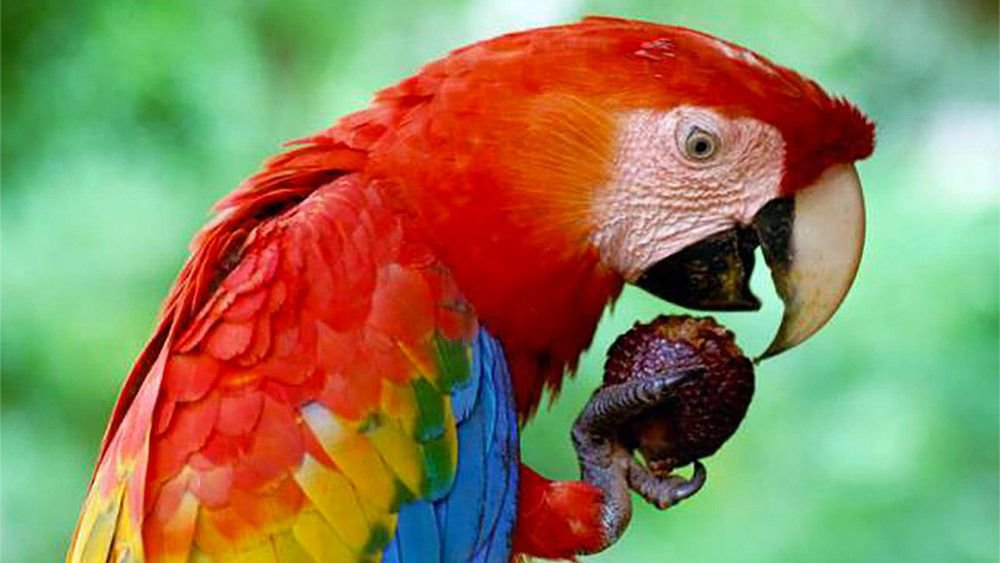 Parrot eating in Costa Rica