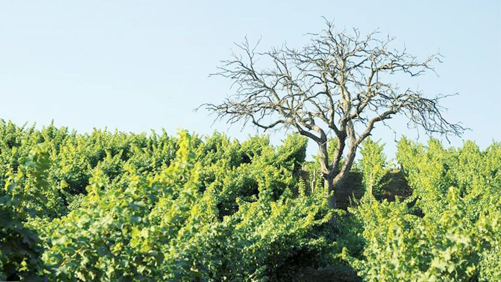 Carregar foto 4 de 6. Old tree in middle of vineyards in Chile