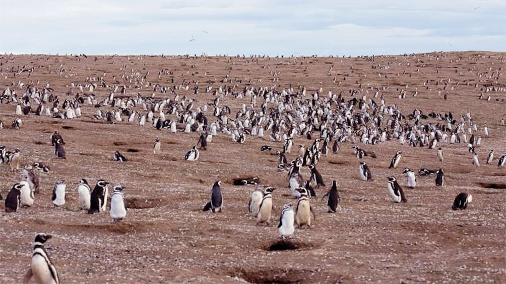 Show item 2 of 5. Field of penguins in Magdalena Island