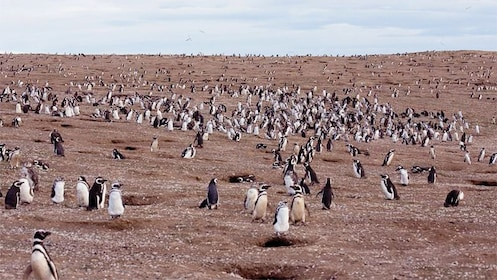 Field of penguins in Magdalena Island