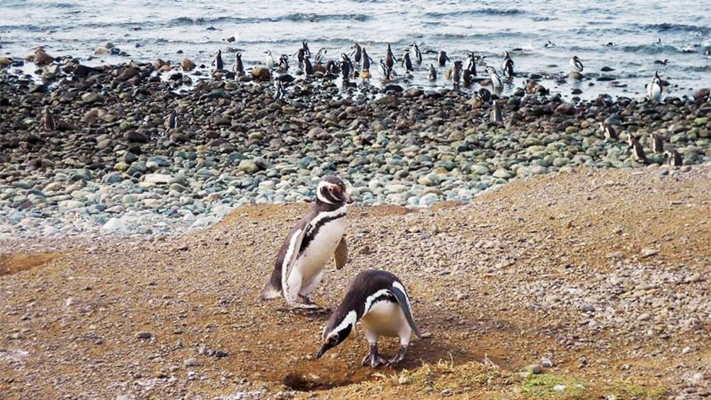 Show item 1 of 5. Penguins walking along the coast on Magdalena Island