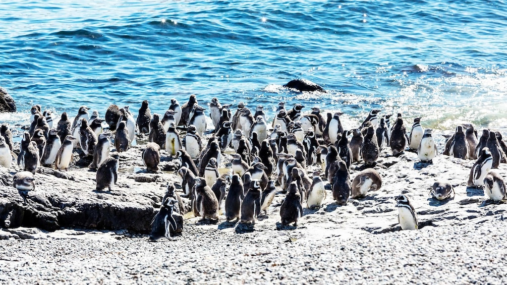 Show item 5 of 5. Penguins along the waters edge on Magdalena Island