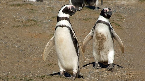Pair of penguins walking on the sand on Magdalena Island