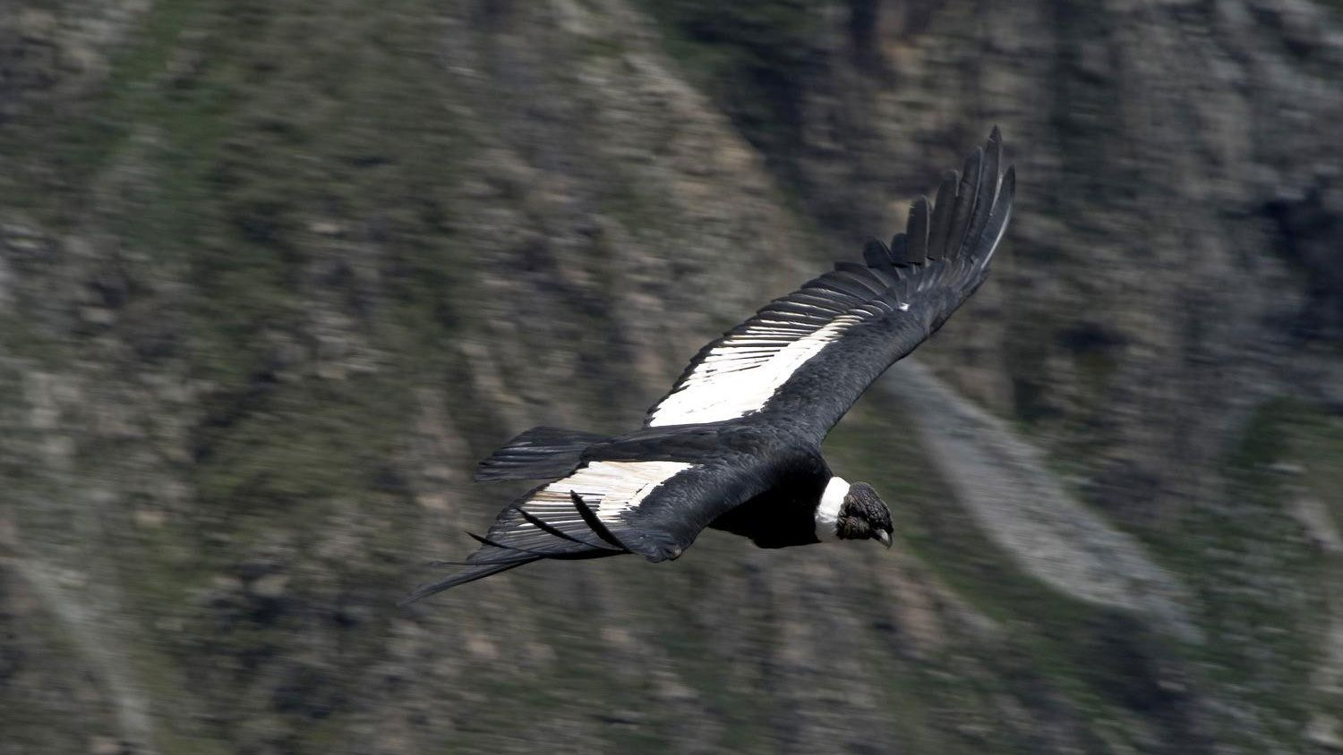 Majestic condor flying over the Pampa Cañahuas Vicuna Reserve