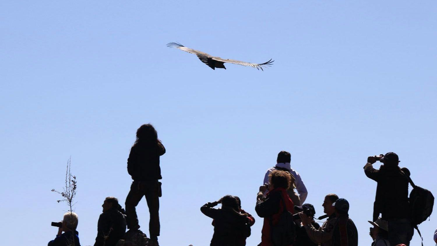 Condor flying above tourists in the Pampa Canahaus reserve