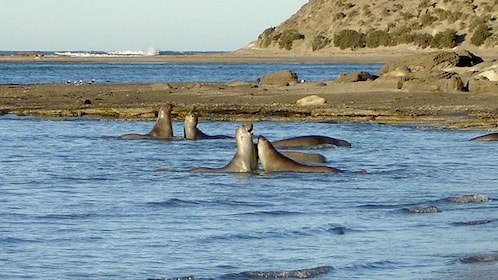 Seals in Peninsula Valdes