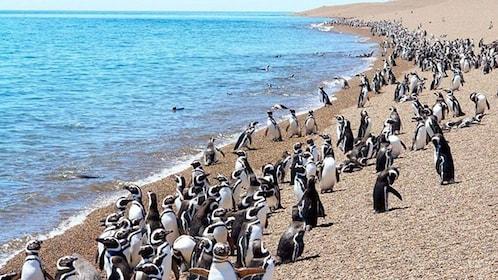 Many penguins in Punta Tombo