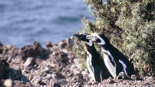 Penguins in Punta Tombo