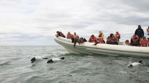 Boat of people watching Orca