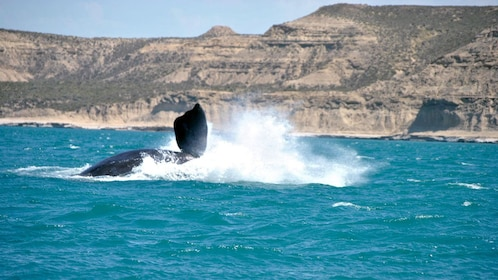 whale splashing up water near the coast in Argentina