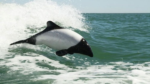 dolphin jumping out the water in Argentina