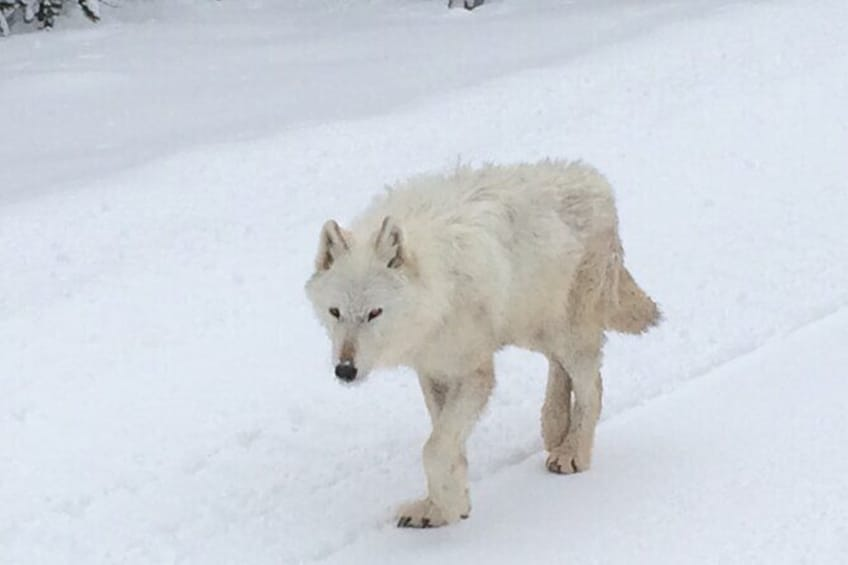 Show item 4 of 8. Winter & Spring are the best times to spot Yellowstone's Wolf Packs