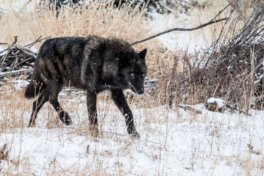 Show item 1 of 8. Early spring wolf sighting