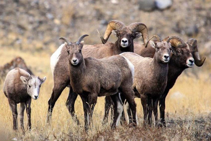 Show item 5 of 8. Yellowstone's Big Horn Sheep herd