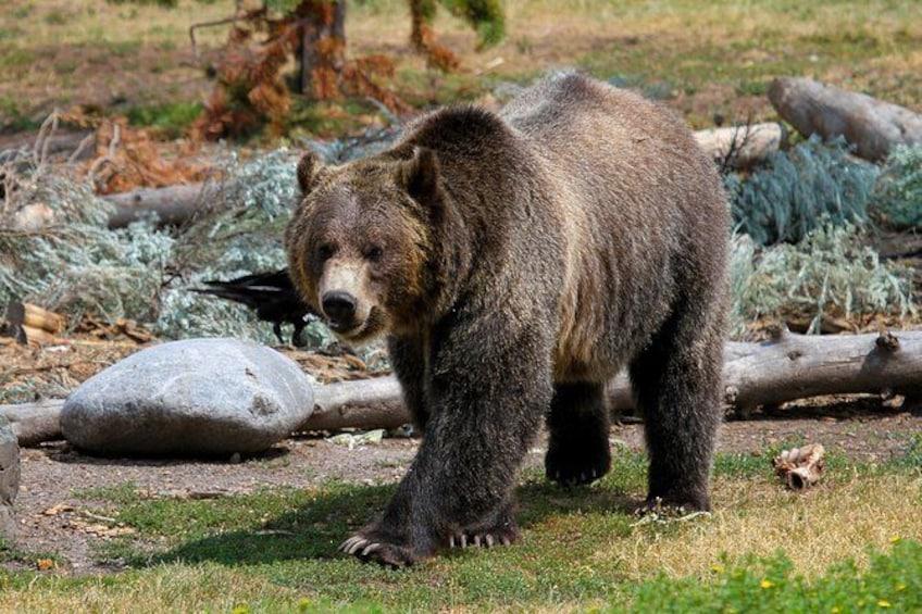 Show item 3 of 8. Yellowstone Wildlife & Hiking Combo Adventure