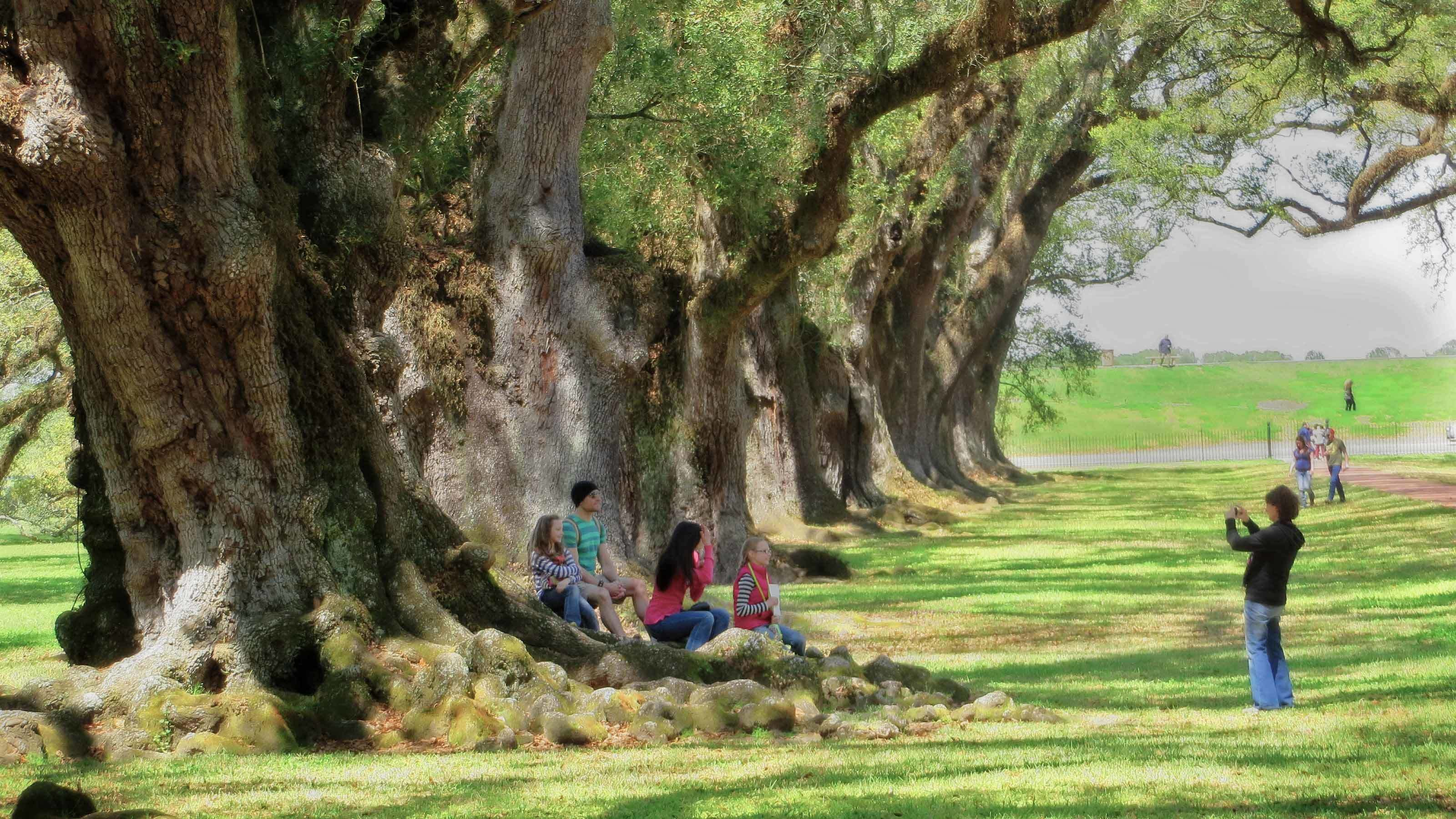 Row of old growth trees and people sitting around them