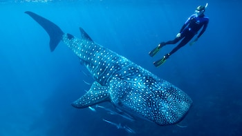 Whale Shark Snorkeling Adventure with Lunch
