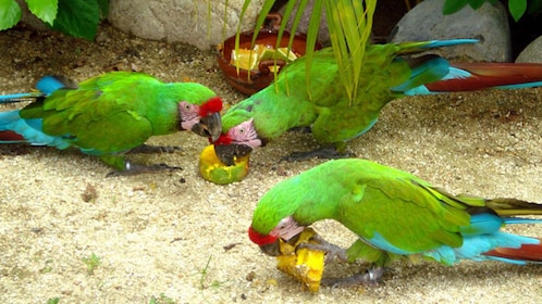 Parrots feasting on fruit