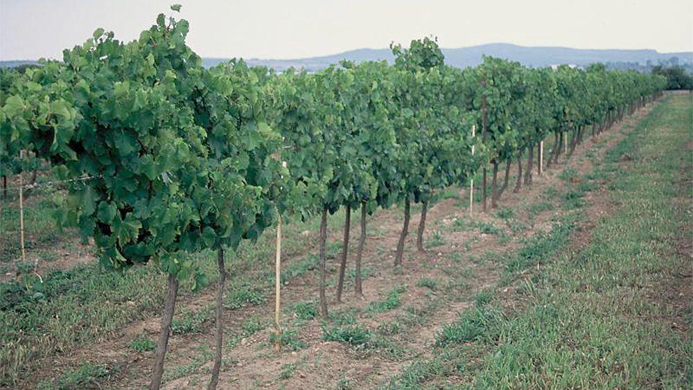 Vineyard in Mexico