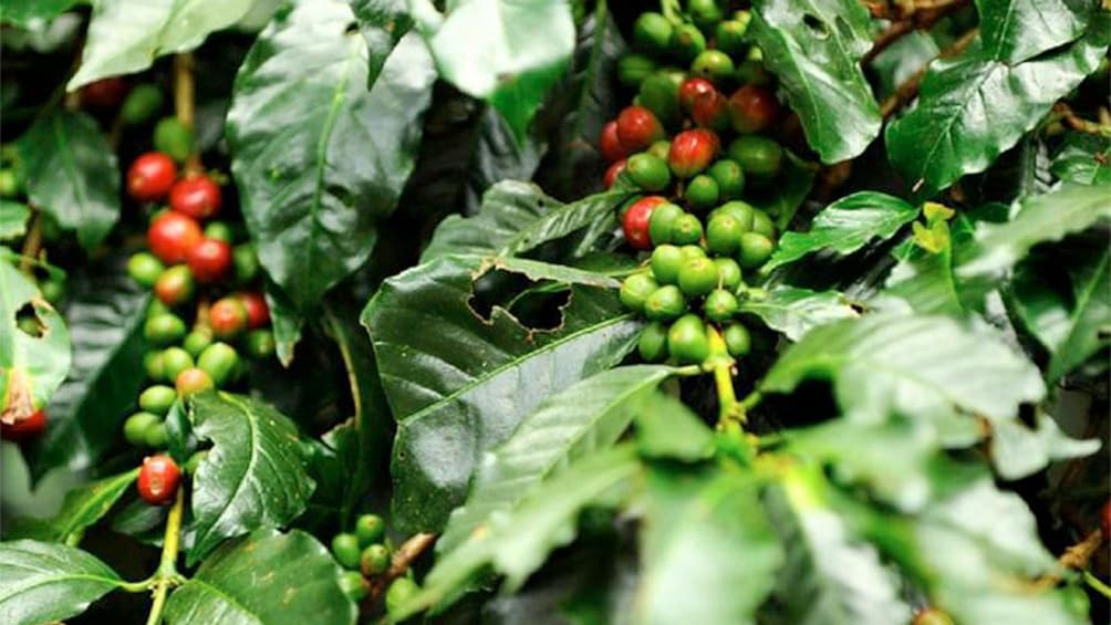 Show item 2 of 6. Coffee Plantation in Colombia
