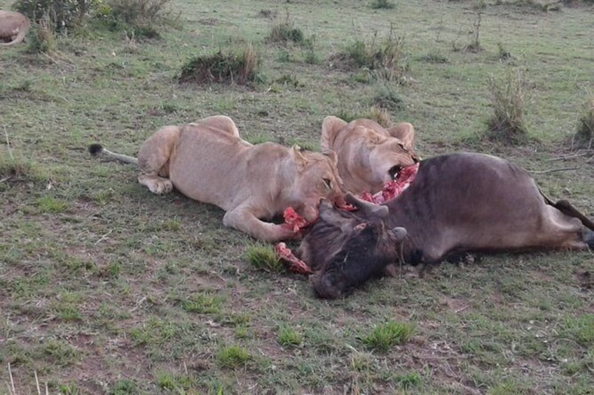 Show item 3 of 7. A pride of Lioness enjoying their Kill in the Mara Reserve.
