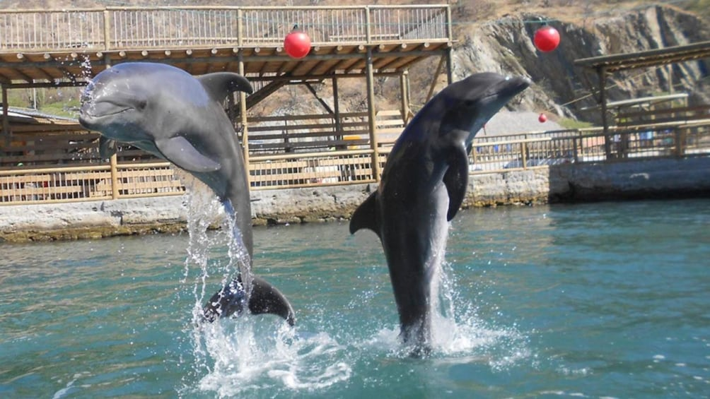 Show item 1 of 3. Dolphins leap out of the water to entertain the crowd