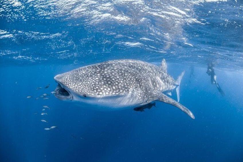 Show item 1 of 12. Whale Shark Adventure Tour